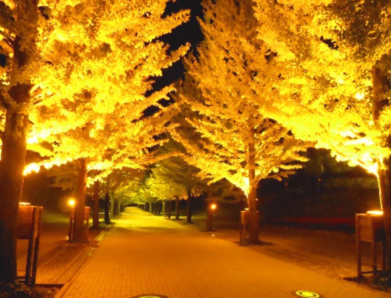 Line of Gingko Trees